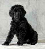 image of standard poodle  - poodle puppy sitting looking at viewer on green background  - JPG