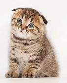 picture of scottish-fold  - Small tabby kitten Scottish Fold sits and stares wistfully at graywhite background - JPG