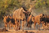 Blue wildebeest (Connochaetes taurinus), Mkuze game reserve, South Africa