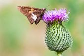 stock photo of spiky plants  - closeup of a moth on a thistle flower in summer - JPG