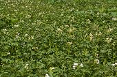 picture of solanum tuberosum  - Green potato plant close up in field - JPG
