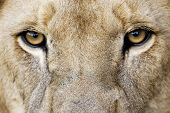 stock photo of african lion  - Closeup of Male Lion Eyes - JPG
