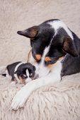 stock photo of puppies mother dog  - Newborn basenji puppy - JPG