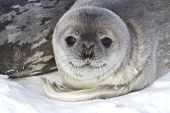 stock photo of orca  - little pup Weddell seals which lies near the female  - JPG