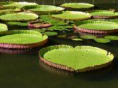 picture of mauritius  - Sir Seewoosagur Ramgoolam Botanical Garden in Pamplemousses - JPG