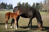 foto of mare foal  - Thoroughbred mare and foal grazing in spring pasture - JPG