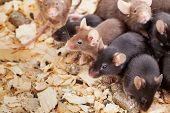 foto of field mouse  - Photo of little brown and black laboratory mouses  - JPG