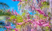 stock photo of judas  - pink Judas tree and liliac wisteria flowers and palms - JPG