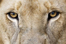 image of apex  - Closeup of Male Lion Eyes - JPG