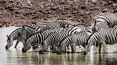stock photo of sub-saharan  - A herd of Zebras are drinking water at a waterhole in a very dry landscape - JPG