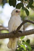 picture of bribie  - A Little Corella  - JPG
