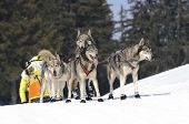 stock photo of sled-dog  - sportive dog team is running in the snow - JPG