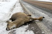 pic of corpses  - Dead deer lying on the winter highway after a car crash - JPG