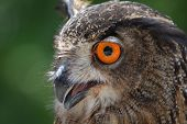 picture of owl eyes  - Side view of the Eurasian Eagle Owl with orange eyes - JPG