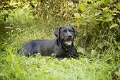 stock photo of seeing eye dog  - Beautiful Black Labrador Retriever lying down in the grass - JPG