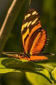 picture of bathing  - Banded Orange Heliconian butterfly sun bathing macro - JPG