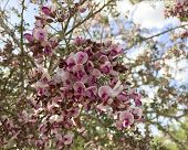 stock photo of xeriscape  - Close up of Anacacho orchid tree or Bauhinia purpurea in Spring time - JPG