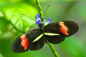 picture of postman  - Postman butterfly feeding on purple flower macro - JPG