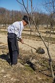 image of orchard  - Senior man digging a hole to plant a plum tree in an orchard on springtime