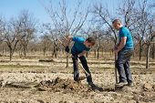 foto of orchard  - Father and son digging a hole in an orchard to plant a plum tree - JPG