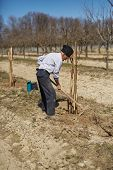 stock photo of orchard  - Senior farmer planting a plum tree in an orchard on springtime - JPG