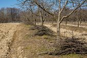 foto of orchard  - Plum orchard on springtime cleaning with piles of cut branches after the pruning activity - JPG