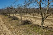 pic of orchard  - Plum orchard on springtime cleaning with piles of cut branches after the pruning activity - JPG