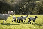 stock photo of spring lambs  - Beauitful landscape image of Spring lambs and sheep in fields during late evening light - JPG