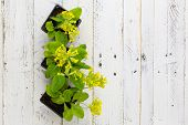 image of cowslip  - Primula veris common cowslip yellow flowers in black plant pots on white painted wooden background - JPG