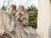 stock photo of monkeys  - funny family calm Japanese monkeys sitting on a large rock and a monkey  - JPG