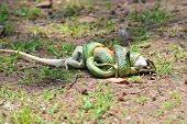 picture of tree snake  - The Golden Tree Snake  - JPG