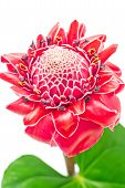 stock photo of torches  - Close up tropical pink torch ginger flower etlingera elatior isolated on white background - JPG