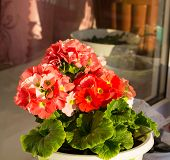 stock photo of geranium  - Shining red geraniums blooming rejoices spring sun  - JPG