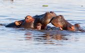 picture of hippopotamus  - Two young male hippopotamus Hippopotamus amphibius rehearse fray and figting with open mouth and showing tusk - JPG