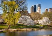 picture of high-rise  - Yoshino Cherry Trees blooming in Central Park New York City - JPG