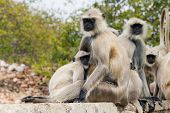 picture of ape  - ape family sitting on a wall in india  - JPG