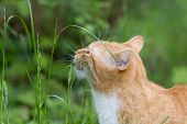 picture of eat grass  - cat outside in the garden eating grass  - JPG