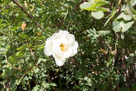 foto of wild-brier  - White Wild Rose Flower Hip spring Blossom - JPG