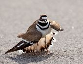 pic of killdeer  - Killdeer birds lay their eggs on the ground by the side of roads and display an aggressive posture to ward of any dangerous animals - JPG