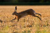 European Brown Hare (lepus Europaeus) On Farmland poster
