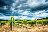 Beautiful vineyard landscape, overcast cloudy sky over fresh green vines, amazing view of big grapes poster