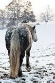 picture of dapple-grey  - Dapple grey horse in snowy winter setting - JPG