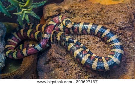 poster of Arizona Mountain King Snake In Closeup, Vibrant Colored Tropical Serpent From America, Popular Pet I