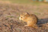 European Ground Squirrel Standing In The Field. Spermophilus Citellus Wildlife Scene From Nature. Eu poster