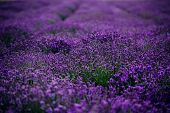 Lavender Field In Sunlight, Provence, Plateau Valensole. Beautiful Image Of Lavender Field.lavender  poster