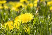 picture of scourge  - a field of dandelion flowering weeds the scourge of suburban life - JPG