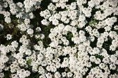 The Closeup And Top View On A Garden Bed With Evergreen Candytuft Flowers. poster