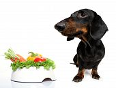 Hungry Dachshund Sausage Dog  With  Healthy  Vegan Or Vegetarian Food Bowl, Isolated On White Backgr poster