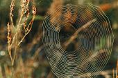 Big Cowweb Among Blades In Field In Sun Light At Dawn. Spiders Web In Summer Field In Sun Rays At D poster