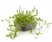 Tarragon spice isolated on white background